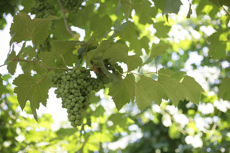 italien, Modena, Traube im Weingarten vor dem Farbwechsel, Lambrusco