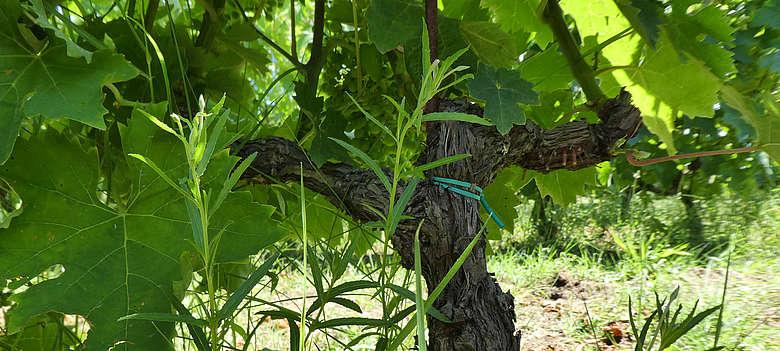 Wein-Italien-Marken-Abruzzen- Weingutsimpressionen des Weingutes Umani Ronchi in der Nähe von Ancona mit Verdicchio und Montepulciano