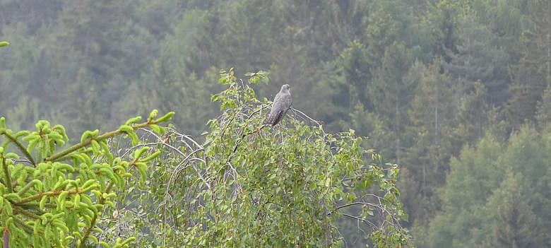 Italien-Suedtirol-Kuckuck-Vogel in den Baumwipfeln