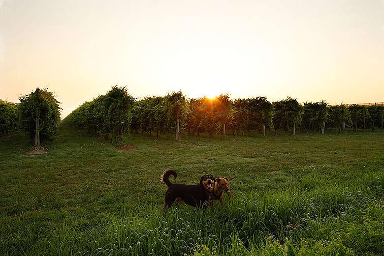 italien, Modena, Weingarten bei Sonnenaufgang des Lambrusco